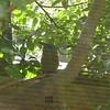 Blue-crowned motmot-204