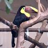 Chestnut-mandibled toucan-004