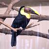 Chestnut-mandibled toucan-003