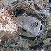 Soloman_Island_Leaf_Toad-006