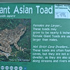 Giant_Asian_Toad-001