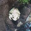 Soloman_Island_Leaf_Toad-003