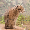 Fishing Cat -001