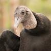 Black Vulture -004