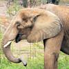 African Elephant -008
