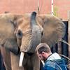African Elephant -005