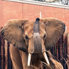African Elephant -003