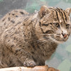 Fishing Cat -003