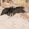 Vulture in Flight-001