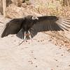 Vulture in Flight-001