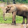 African Elephant -009