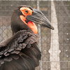 Southern Ground Hornbill -001