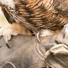 Great Horned Owl -003