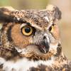 Great Horned Owl -004