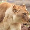 Lion -002