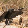 Vulture in Flight-003
