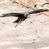 Vulture in Flight-002
