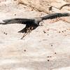 Vulture in Flight-002