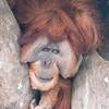 Sumatran_Orangutan-002