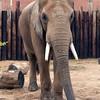 African Elephant -001