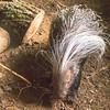 African Crested Porcupine -001