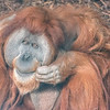 Sumatran_Orangutan-004