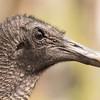 Black Vulture -001
