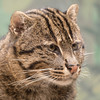 Fishing Cat -002