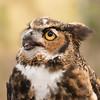 Great Horned Owl -002