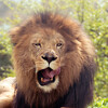 Lion -005