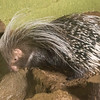 African Crested Porcupine -002