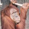 Sumatran_Orangutan-005