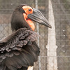 Southern Ground Hornbill -002