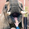 African Elephant -007