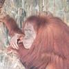 Sumatran_Orangutan-003