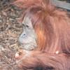 Sumatran_Orangutan-001