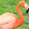 Caribbean Flamingo -002