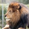 Lion -006