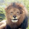 Lion -004