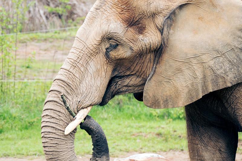 African Elephant -010