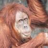 Sumatran_Orangutan-006