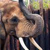 African Elephant -002