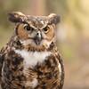 Great Horned Owl -001