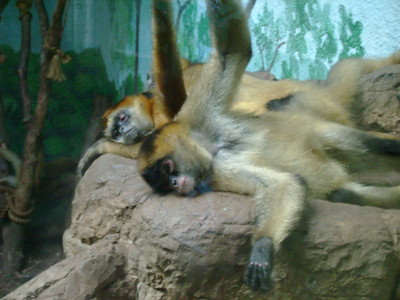 Upclose shot of the resting primates.