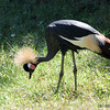 West African or Black Crowned Crane