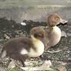 Duckilngs