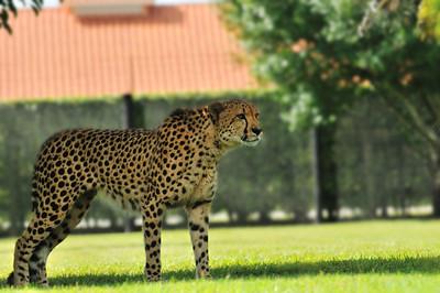 Cheetah, Panther Ridge Conservation Center