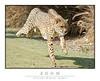 Cheetah_7273Cfw