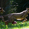 Cheetah cubs at play, National Zoo, Washington DC, September 15, 2012.