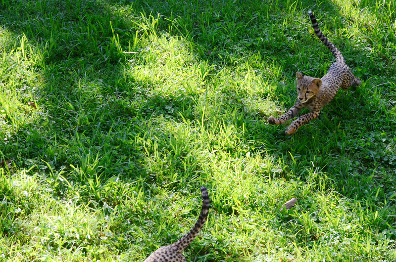 Cheetah cubs at play, National Zoo, Washington DC, August 18, 2012.